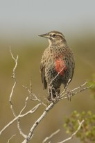 Long-tailed Meadowlark (Sturnella loyca)