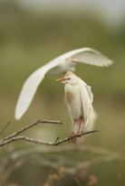 Cattle Egret (Bubulcus ibis) standing on a branch