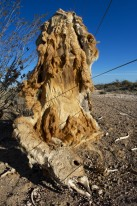 Guanaco (Lama guanicoe), dead after being caught in wire fence. Partially eaten (bones are all around).