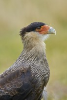Southern crested caracara (Caracara plancus) adult foraging in the rain.