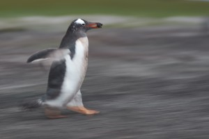 Gentoo penguin (Pygoscelis papua) running with nesting material on its beak.