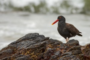 Blackish Oystercatcher (Haematopus ater)