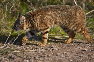 Gato del pajonal / Pampas Cat (Leopardus colocolo)
