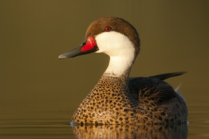 White-cheeked Pintail (Anas bahamensis) swimming in a lake
