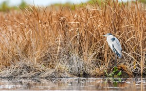 White-necked Heron (Ardea cocoi) standing at the border of a swa