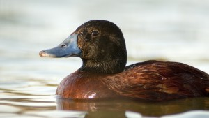 Argentine Ruddy Duck (Oxyura vittata) swimming.