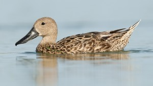Female Red Shoveler (Spatula platalea) swimming