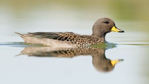Yellow-billed Teal (Anas flavirostris) reflected on water, swimm