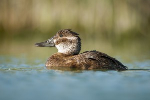 Lake Duck (Oxyura vittata)