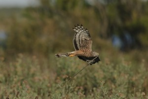 Female Cinereus Harrier (Circus cinereus) flying with nest material in beak