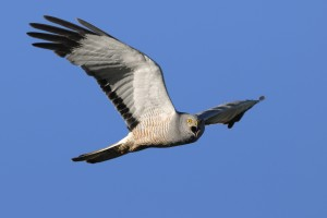 Male Cinereus Harrier (Circus cinereus) screaming in flight, loo