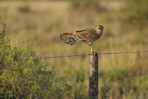 Female Cinereus Harrier (Circus cinereus) perched on post in fie