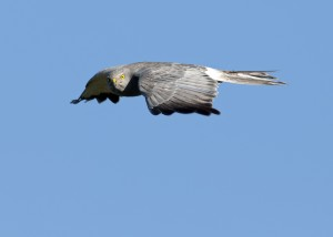 Cinereus Harrier (Circus cinereus) in flight with prey