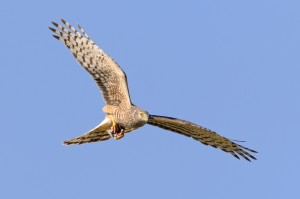 Female Cinereus Harrier (Circus cinereus) in flight with a dead bird caught between its claws.
