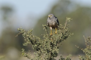 Cinereous Harrier (Circus cinereus)