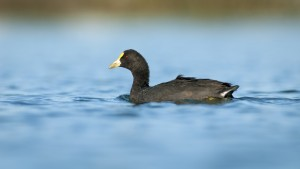 White-winged Coot (Fulica leucoptera) swimming