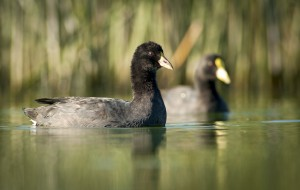 White-winged Coot (Fulica leucoptera) juvenile and adult swimmin