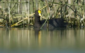 White-winged Coot (Fulica leucoptera) swimming near reed bed