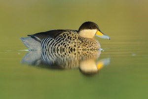 Silver Teal (Spatula versicolor) on the water