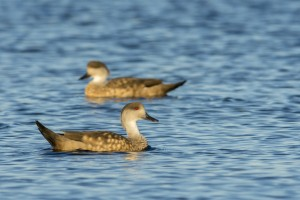 Crested Duck (Lophonetta specularioides)