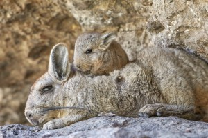 Southern Moutain Viscacha (Lagidium viscacia)