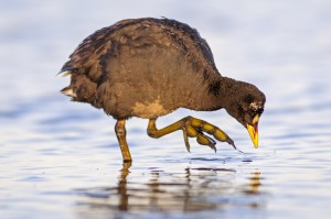 Red-gartered Coot (Fulica armillata) foraging in water.