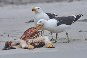 Kelp Gull (Larus dominicanus) feeding on a dead Long-tailed Gentoo Penguin (Pygoscelis papua)