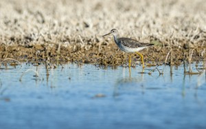 Greater Yellowlegs (Tringa melanoleuca) foraging in the water