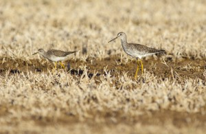 Lesser Yellowlegs (Tringa flavipes) and Greater Yellowlegs (Tringa melanoleuca)