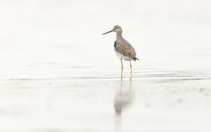 Greater Yellowlegs (Tringa melanoleuca) standing in shallow wate