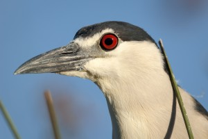 Portrait of The Black-crowned Night Heron (Nycticorax nycticorax)
