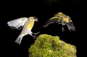 Two Black-chinned siskin (Spinus barbatus) males fighting for food and territory.