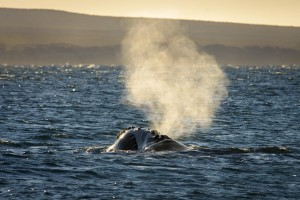 Southern Right Whale (Eubalaena australis) exhaling air through its blowhole.