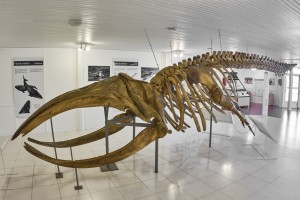 Southern Right Whale (Eubalaena australis) young male 45 foot long skeleton.