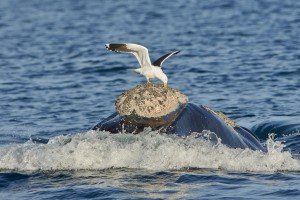 Southern Right Whale (Eubalaena australis) surfacing with Kelp Gull (Larus dominicanus) picking off lice, Chubut, Argentina
