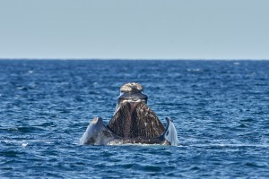 Southern Right Whale (Eubalaena australis) feeding.