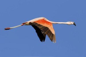 Chilean Flamingo (Phoenicopterus chilensis) in flight against a