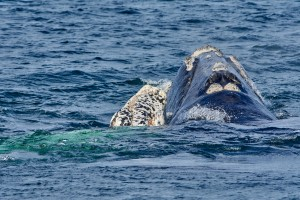 Mother and daughter. Southern Right Whale (Eubalaena australis)