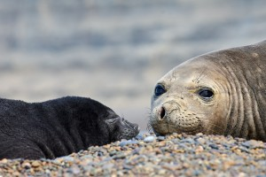 Southern Elephant Seal (Mirounga leonina) mother and newborn pup