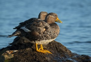 Flying Steamer-Duck (Tachyeres patachonicus) couple and chick on a rock at Nahuel Huapi lake.