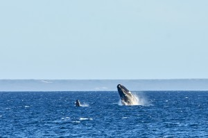 Mother and son jumping. Southern Right Whale (Eubalaena australis) feeding.