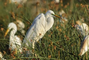 Great Egret (Ardea alba) on nest among other herons