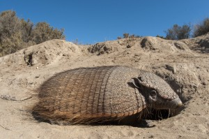 Big Hairy Armadillo (Chaetophractus villosus) at burrow entrance in Peninsula Valdes