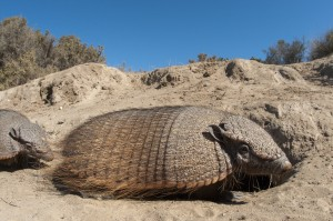 Two Big Hairy Armadillos (Chaetophractus villosus) at burrow entrance in Peninsula Valdes