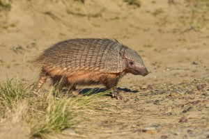 Large Hairy Armadillo (Chaetophractus villosus)
