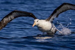 Black-browed Albatross (Thalassarche melanophris) taking off