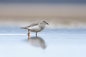 Magellanic Plover (Pluvianellus socialis) stomping on wet mud while moving in circles in order to get food