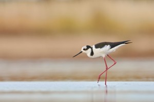 South American Stilt (Himantopus mexicanus)
