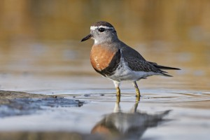 Rufous-chested Plover (Charadrius modestus)
