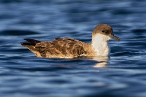 Greater Shearwater (Ardenna gravis)